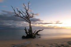 Νεκρό δέντρο στην ακτή στοκ φωτογραφία