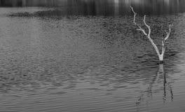 Νεκρό δέντρο στη λίμνη σε b/w Στοκ Φωτογραφία