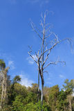 Νεκρό δέντρο στο δάσος με το υπόβαθρο μπλε ουρανού Στοκ Φωτογραφία