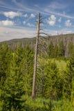 Νεκρό δέντρο στο δάσος πεύκων Στοκ φωτογραφία με δικαίωμα ελεύθερης χρήσης