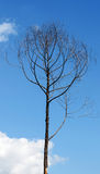 Νεκρό δέντρο Στοκ Φωτογραφίες