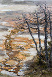 Νεκρό γεωθερμικό outwash δέντρων στοκ φωτογραφίες