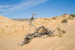 νεκρό δέντρο αμμόλοφων Στοκ Εικόνα