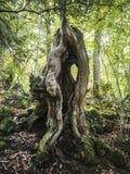 Νεκρό δέντρο κάστανων σε ένα δάσος στοκ φωτογραφία με δικαίωμα ελεύθερης χρήσης