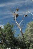 Νεκρό δέντρο με τις φωλιές στην κορυφή στοκ φωτογραφία