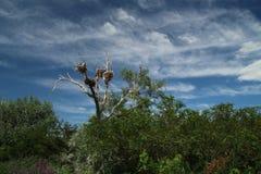 Νεκρό δέντρο με τις φωλιές στην κορυφή στοκ εικόνες