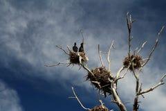 Νεκρό δέντρο με τις φωλιές στην κορυφή στοκ φωτογραφία με δικαίωμα ελεύθερης χρήσης