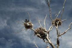 Νεκρό δέντρο με τις φωλιές στην κορυφή στοκ εικόνα