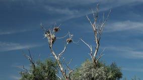 Νεκρό δέντρο με τις φωλιές στην κορυφή στοκ εικόνα με δικαίωμα ελεύθερης χρήσης