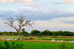 Νεκρό δέντρο με τον κλάδο και κανένα φύλλο στο λιβάδι, μεταξύ του πράσινου FI Στοκ Φωτογραφίες