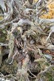 νεκρό δέντρο ρίζας Στοκ εικόνα με δικαίωμα ελεύθερης χρήσης