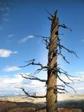 νεκρό δέντρο στάσεων Στοκ Φωτογραφίες