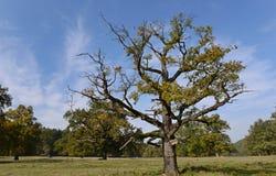 Νεκρό δέντρο στο λιβάδι το πρόωρο φθινόπωρο Στοκ Φωτογραφίες