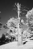 Νεκρό δέντρο Στοκ Εικόνα
