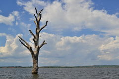 Νεκρό ενιαίο δέντρο στη μέση της λίμνης Στοκ Εικόνες