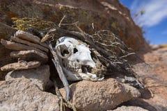 Νεκρό ζωικό κρανίο στο θάμνο Στοκ Φωτογραφίες