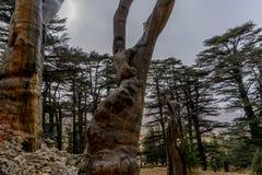 Νεκρό κολόβωμα σε ένα άλσος κέδρων στον αρχαίο Λίβανο Στοκ εικόνες με δικαίωμα ελεύθερης χρήσης