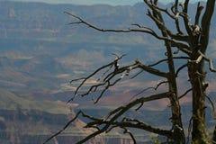 νεκρό μεγάλο δέντρο φαραγγιών Στοκ Φωτογραφίες