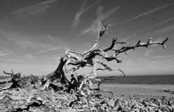 νεκρό παλαιό δέντρο Στοκ Εικόνα