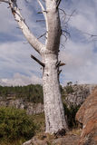 Νεκρό παλαιό δέντρο στο βουνό κοντά σε έναν θάμνο Στοκ φωτογραφία με δικαίωμα ελεύθερης χρήσης
