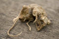 νεκρό ποντίκι Στοκ Φωτογραφία