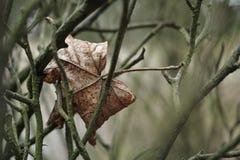 Νεκρό φύλλο που κρεμά δυστυχώς Στοκ φωτογραφίες με δικαίωμα ελεύθερης χρήσης