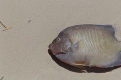 Νεκρό Anglefish στην άμμο Στοκ Φωτογραφίες