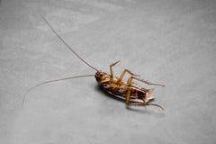 νεκρό roach χρώματος έμφασης Στοκ Εικόνα