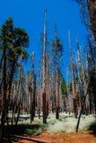Νεκρό sequoia δάσος μετά από την πυρκαγιά στο εθνικό πάρκο Yosemite Στοκ Εικόνες