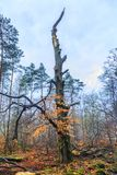 Νεκρό sylvatica fomes Fomentarius Fagus δέντρων οξιών, στοκ εικόνα με δικαίωμα ελεύθερης χρήσης