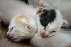 Νεογέννητα μικρά γατάκια ύπνου Στοκ φωτογραφία με δικαίωμα ελεύθερης χρήσης