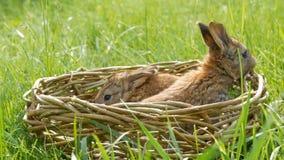 Νεογέννητα μικρά εβδομαδιαία χαριτωμένα χνουδωτά λαγουδάκια ένα σε ένα ψάθινο καλάθι στην πράσινη χλόη το καλοκαίρι ή την άνοιξη φιλμ μικρού μήκους