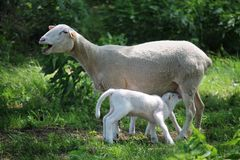 Νεογέννητα πρόβατα αρνιών και μητέρων σε ένα λιβάδι, και εκατό χρονών δρύινα δέντρα στοκ εικόνα