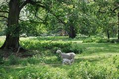 Νεογέννητα πρόβατα αρνιών και μητέρων σε ένα λιβάδι, και εκατό χρονών δρύινα δέντρα στοκ φωτογραφίες
