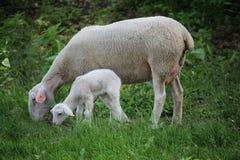 Νεογέννητα πρόβατα αρνιών και μητέρων σε ένα λιβάδι στοκ φωτογραφία με δικαίωμα ελεύθερης χρήσης