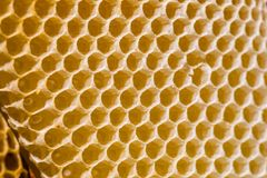 Νεογέννητη μέλισσα στην κηρήθρα Στοκ εικόνες με δικαίωμα ελεύθερης χρήσης