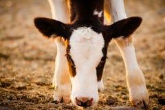 Νεογέννητη προσοχή αγελάδων μόσχων στη κάμερα Στοκ Φωτογραφία