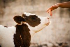 Νεογέννητη όμορφη αγελάδα μόσχων που μυρίζει ένα χέρι γυναικών Στοκ Φωτογραφία