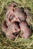 νεογέννητοι αρουραίοι Στοκ Εικόνες
