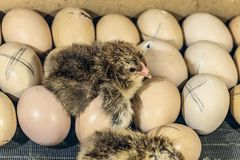 Νεογέννητος νεοσσός που βρίσκεται στα αυγά κοτόπουλου Στοκ φωτογραφία με δικαίωμα ελεύθερης χρήσης