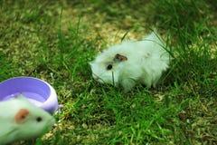 Νεογέννητο άσπρο χρωματισμένο ινδικό χοιρίδιο μωρών γνωστό επίσης όπως cavy, εσωτερικός cavy ή cavia που βόσκει μια φρέσκια χλόη  στοκ φωτογραφίες με δικαίωμα ελεύθερης χρήσης