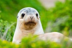 Νεογέννητο αυστραλιανό λιοντάρι θάλασσας στο υπόβαθρο θάμνων στοκ εικόνες