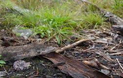Νεογέννητο βόρειο Copperhand Στοκ εικόνες με δικαίωμα ελεύθερης χρήσης