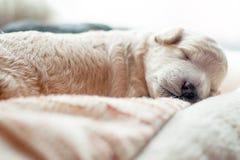 Νεογέννητο κουτάβι γλυκά κοιμισμένο Στοκ Εικόνα