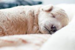 Νεογέννητο κουτάβι γλυκά κοιμισμένο Στοκ Εικόνες