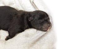 Νεογέννητο κουτάβι που κοιμάται μαύρο retriever του Λαμπραντόρ Στοκ Φωτογραφίες