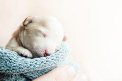Νεογέννητο κουτάβι σε ετοιμότητα Στοκ Εικόνα