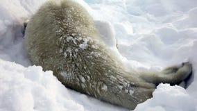 Νεογέννητο κουτάβι σφραγίδων στον πάγο και χιόνι σε αναζήτηση Mom φιλμ μικρού μήκους