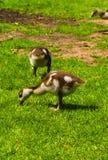 Νεογέννητο παιχνίδι παπιών μωρών στο πάρκο στοκ εικόνα με δικαίωμα ελεύθερης χρήσης