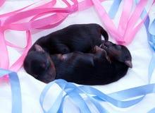 νεογέννητο τεριέ δύο Γιορκσάιρ Στοκ Φωτογραφία